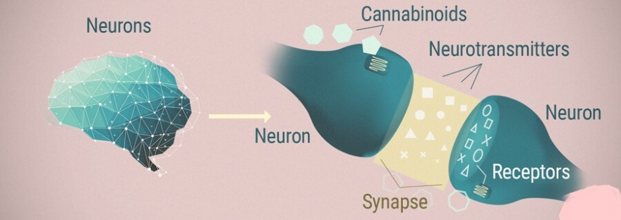 The Underrated Endocannabinoid System